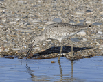 A Willet feeds along the shore.  6693 drive 9