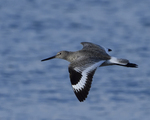 A Willet flies by.  6704 drive 9