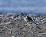 A Willet runs as it takes flight.  6705 drive 9