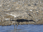 A Willet feeds along the shore.  6722 drive 9