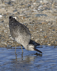 A Willet takes a drink.  6726 drive 9