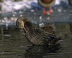 A Black Duck hen preens.  1579-24
