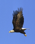 A Bald Eagle flies off.   725-14