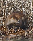 A Beaver rests in the sun on a cold early spring morning.  8464 drive 5