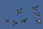 Ring-necked Ducks come flying over.  8851 drive 5