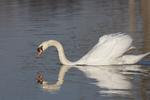 A Mute Swan swims along.  9127 drive 5