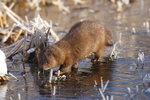 A Mink walks on the ice on a frosty cold morning.  9637 drive 5
