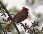 Northern Cardinal in blossoms.  1988 drive 5