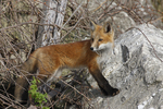 A young Red Fox pauses from exploring on the rocks and vines near its den.  1668 drive 5