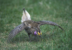 A Sharp-tailed Grouse dances on a lek.  944-6 drive 2
