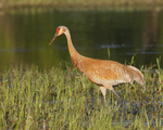 A Sandhill Crane looks for food along a river.  2595 drive 5
