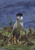 Black-crowned Night Heron in the wind on a wetland  2945-14 drive 2