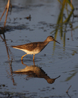 A Lesser Yellowlegs is reflected on the marsh as it hunts for food. 3961 drive 5