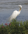 A Great Egret preens as it stands next to a patch of Marsh Milkweed. 4648 drive 5