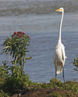 A Great Egret stands next to a patch of Marsh Milkweed.  4714 drive 5