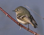 Ruby-crowned Kinglet on branch