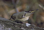 A Ruby-crowned Kinglet feeds on a log.  1286-30 drive 2