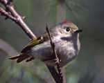 Ruby-crowned Kinglet on branch  2620-25 drive 2