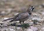 A Horned Lark calls out.  1317-7 drive 2
