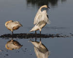 A pair of Trumpeter Swans rest and flap on a pond in the early morning sun.  6181 drive 5