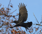 A Common Crow flies off with an acorn.  6691 drive 6