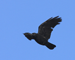A Common Crow flies over.  6694 drive 6