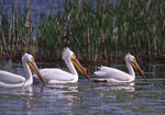White Pelicans swim along in a marsh.  2767-32 drive 2