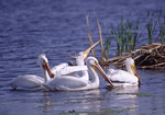 White Pelicans swim along next to a muskrat house.  2767-38 drive 2