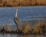 A Sandhill Crane calls out in a wetland.  8195 drive 6