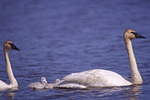 Trumpeter Swan cygnets stay close to the adults as they move along on a pond.  2793-10 drive 2