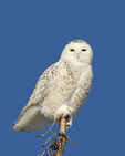 A Snowy Owl perches on top of a tree.  9398 drive 6