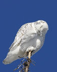 A Snowy Owl preens on top of a tree.  9410 drive 6