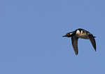 A Hooded Merganser comes flying by.  9999-77 drive 6