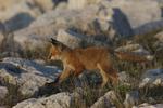 A Red Fox kit runs along.  1821 drive 6