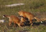 Red Fox kits play.  1841 drive 6