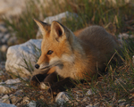 A Red Fox kit looks intently as it rests on the ground.  3011 drive 6