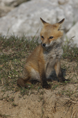 A Red Fox kit sits at the edge of the den.  3045 drive 6