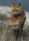Red Fox kits make like a totem pole as they play at the edge of a marina.   3112 drive 6
