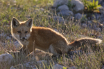 A Red Fox kit looks up from feeding.  3370 drive 6