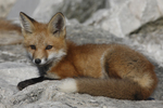 A Red Fox kit rests on a rock.  3482 drive 6