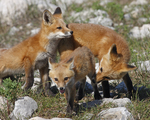 Red Fox kits gather together including the runt.  3603 drive 6
