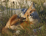 A Red Fox kit scratches while laying in the grass.  3688 drive 6