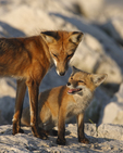 A Red Fox kit is happy to be with the father fox.  3860 drive 6
