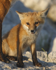 A Red Fox kit is happy to be with the father fox.  3862 drive 6