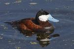 A Ruddy Duck floats along before it dives.  4727 drive 6