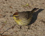 A Palm Warbler looks for food on the sand.  1615 drive 6