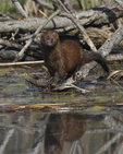 A Mink comes down to the water.  1196 drive 6
