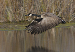 A Canada Goose flies over a pond.  1225 drive 6