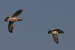 A pair of Buffleheads fly over.  495 drive 6