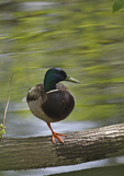 A Mallard stands on one leg as it rests on a log.  1516 drive 6